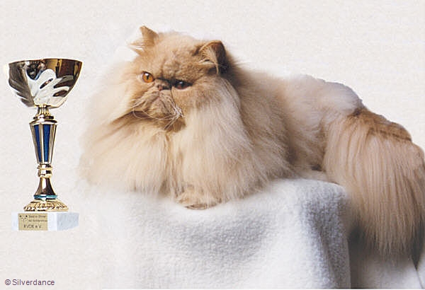 BIS Specialshow Persians 27 month old