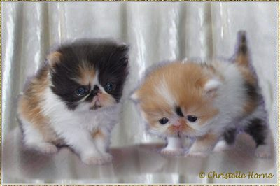 Cha Cha´s Miss. Picasso and Cha Cha´s Donatella ... dominant calico 4.5 weeks old