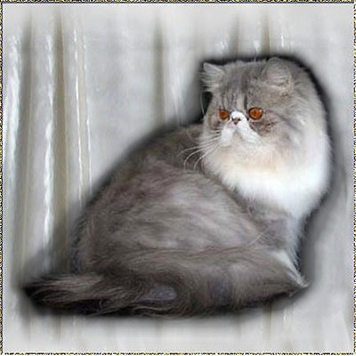 El Sahib's Naiky of Roggenstein ...Blue-Silver-Tabby-White mackerel female 3 years old
