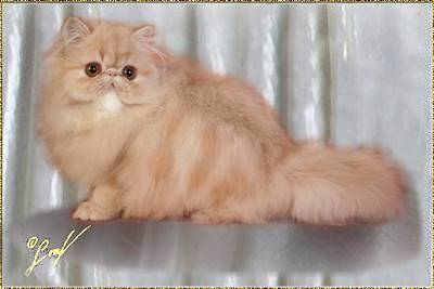 Fluffygrape Sweet Snickerdoodles ... cream tabby classic male 5 months old