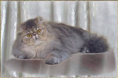 Fluffygrape's Blue Jewel of China ... Blue mackerel tabby female 6 months old