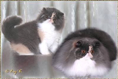 Henrietan Al Chiaro di Luna of Bjonnasen ... dilute calico female 12 weeks and 9 months old