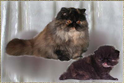 Just-4-Fun Lillybelle ... tortie female 6 months and 4 weeks old