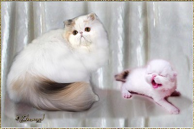 Crayola Cats Misson Impossible ... dominant calico-smoke-van female 8 months and 10 days old