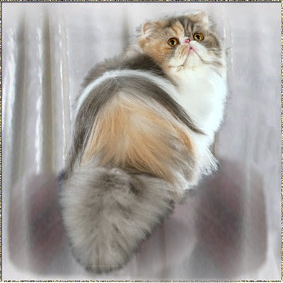 Pouncingpaws Colors On Parade .... Blue-Silver-Patched-Tabby-White classic 1 years old