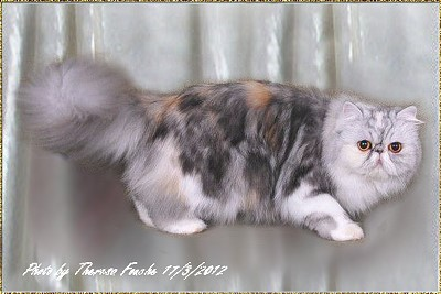 Balouchi Buttons n' Bows of Purrbridge ... silver-torbie-white female 3,5 years old