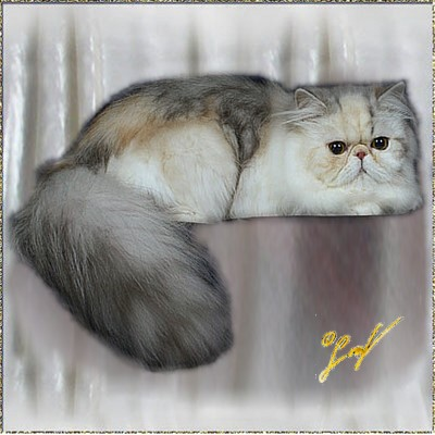 Roggenstein's Hollywood .... Silver-Patched-Tabby-White mackerel female 1 years old