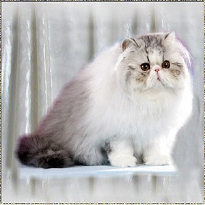 Roggenstein's Silver Snow Bear ... Silver-Tabby-White mc male 6 months old
