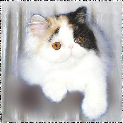 Shelbycat's Sweetheart .... calico-van 4 months old