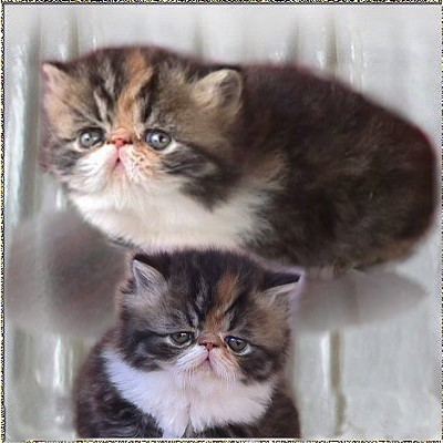 Skybank Full of Hope ... brown-patched-tabby-white kitten