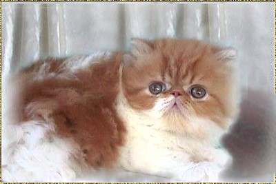 Skybank Toprank Yank ...  red-tabby-high white kitten