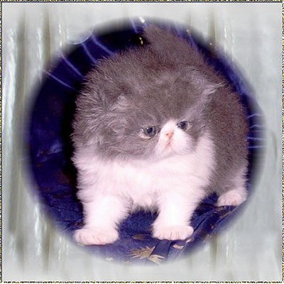 Bodega Bay´s Curly Sue ... blue-white female kitten