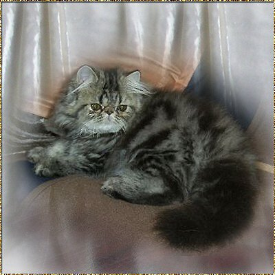 Silverdance Persians - Breedstandard of Persians - tabby
