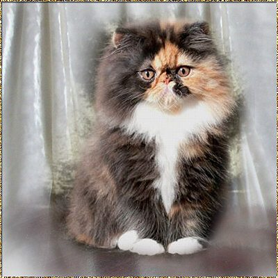Schelby Cat´s Scarlet ... tortie-white-tuxedo (calico) female