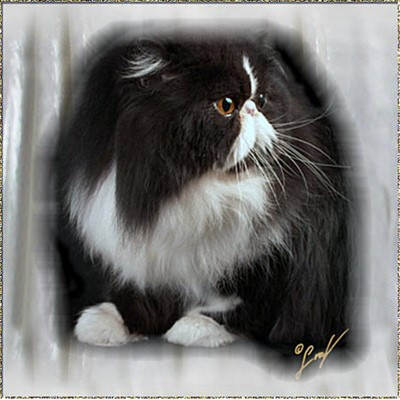 Abalisa Sugar-N-Spice ... black-white-tuxedo male 7 years old
