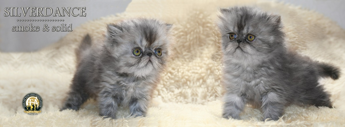 Silverdance Persians - CFA cattery for smoke persians & solid persians